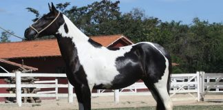Side view of a pinto Mangalarga Marchador mare's conformation
