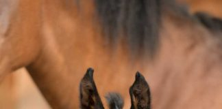Alert bay foal