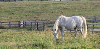 Grazing senior horse