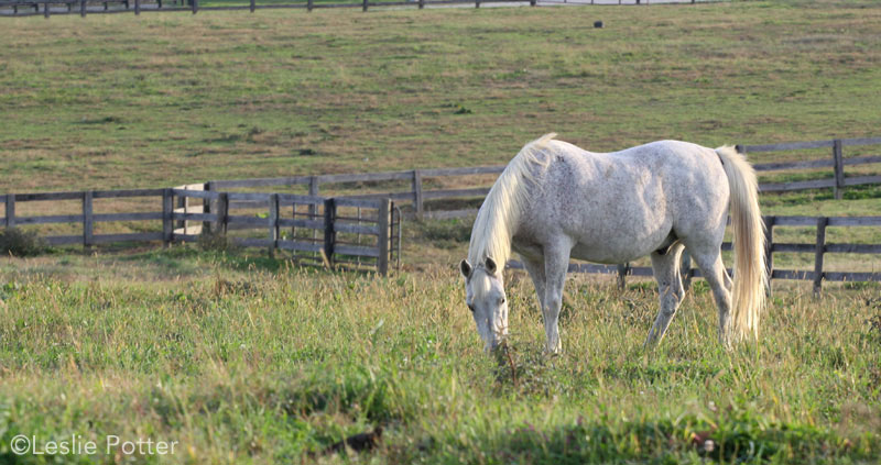 Grazing senior horse