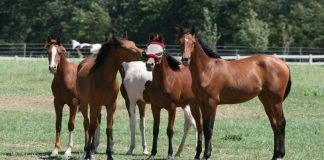 Horses playing with a fly mask