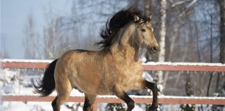 Buckskin Lusitano horse in the snow