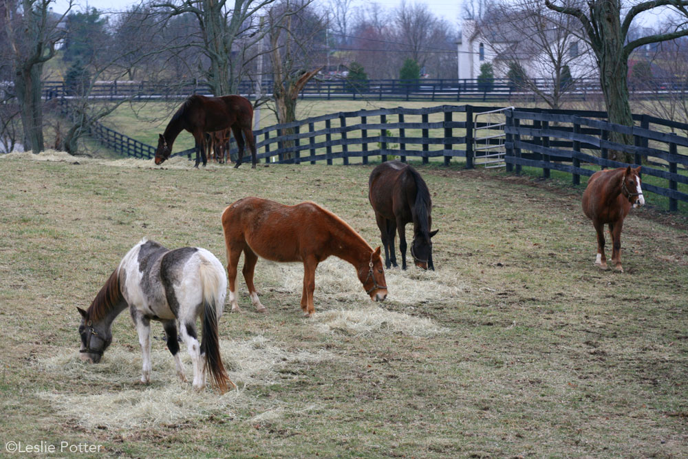 Rescue horses eating hay in winter