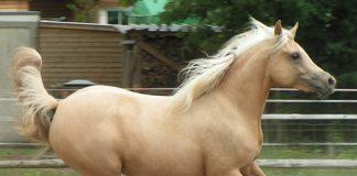 Palomino Quarab Horse cantering