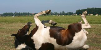 Horse rolling in the pasture
