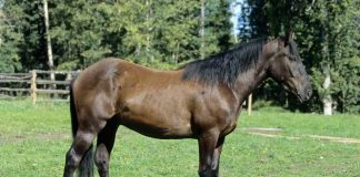 Canadian Horse side view conformation