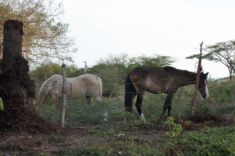 Isla de Vieques Horses