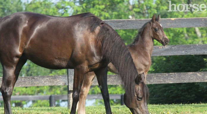Morgan mare and foal