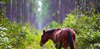 Nunki the Abaco wild horse