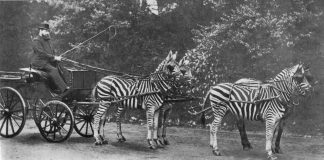 Zebras pulling a carriage
