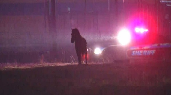 Mini horse loose in OKC