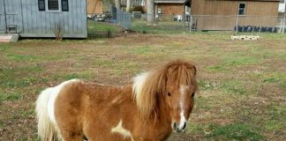 Mini horse found loose