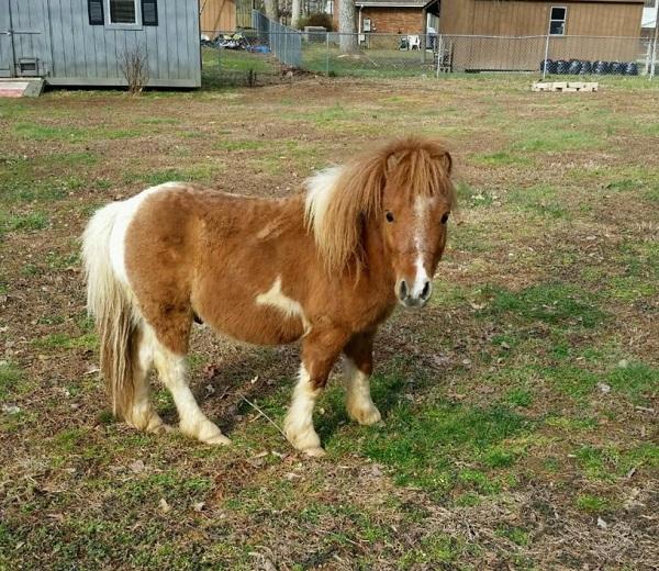 Mini horse found loose