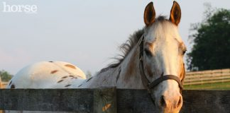 Appaloosa horse looking over the fence