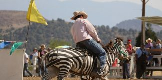 Zebra barrel racing