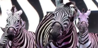 Universoul Circus Zebras