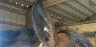 Horse ear plaque