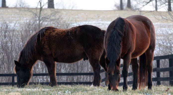 Horses with fuzzy winter coats