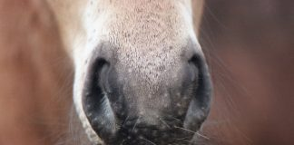 Horse whiskers