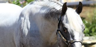Appaloosa Halter Horse