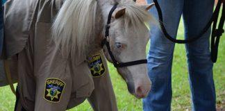 Mini Horse Deputy