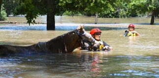 Horses in floodwaters