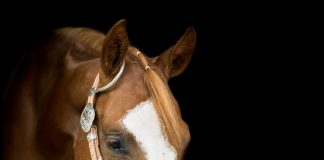 Chestnut horse in a bosal