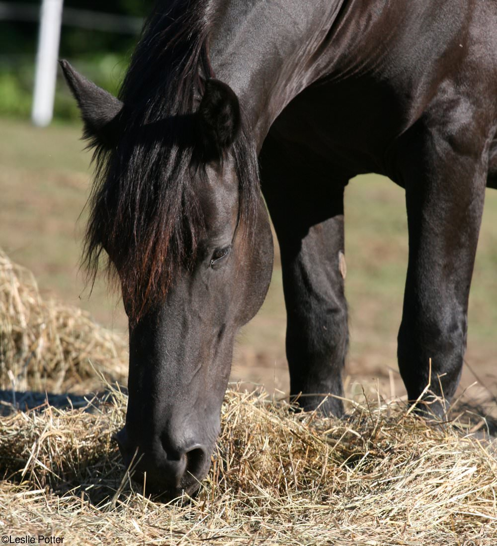 Friesian Horse Eating Hay