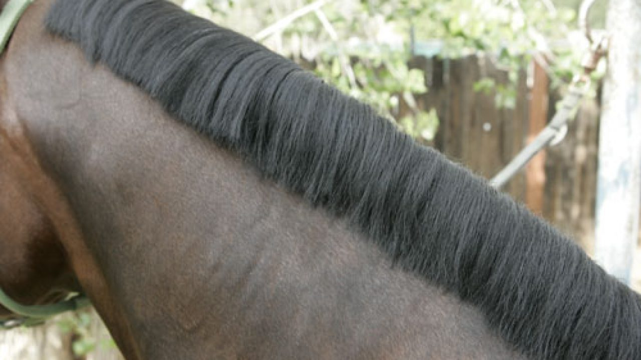 How To Band A Western Horse S Mane Horse Illustrated