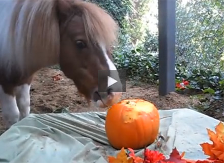 Miniature Horse Carves Pumpkin Video