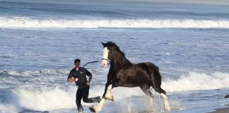 Express Clydesdales at the beach