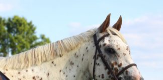 Appaloosa head shot