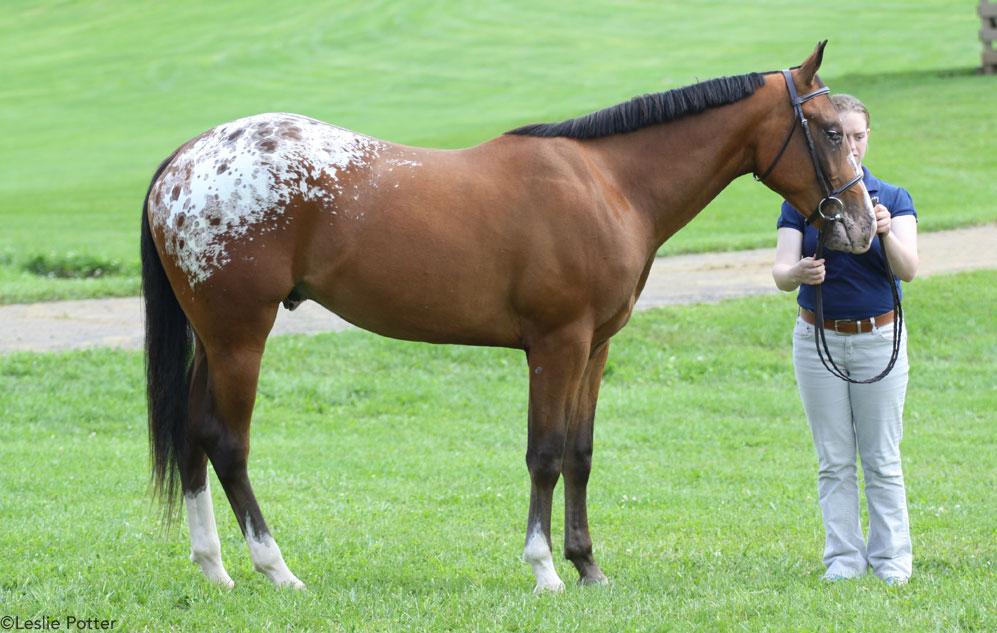 Appaloosa horse at a horse show