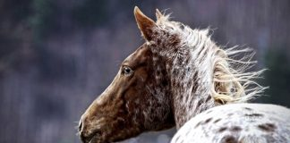 Appaloosa horse in winter