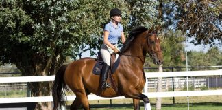 English horse and rider cantering