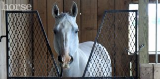 Horse in a standing wrap on stall rest
