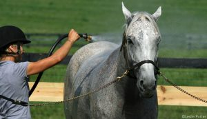 Gray horse getting a bath