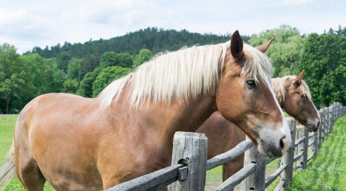 Belgian draft horses