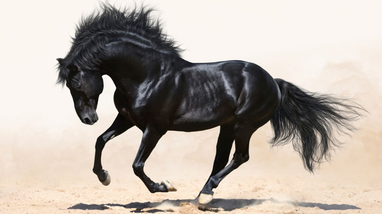 12 Fun Facts About Black Horses Horse Illustrated