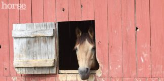 Buckskin Horse in a Barn