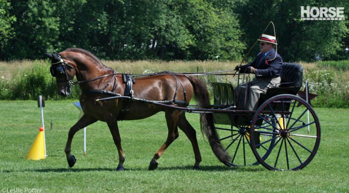Morgan horse in a carriage competition