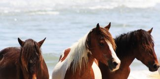 Chincoteague Ponies on the beach.