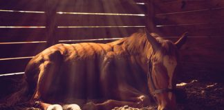 Horse lying down in a dark stall