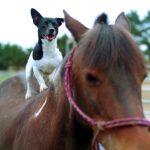 Dog riding a pony