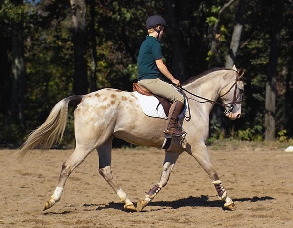 English rider on an Appaloosa horse