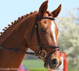 Horse in a flash noseband