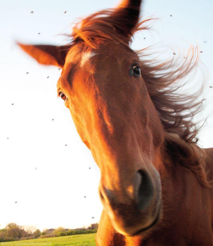 Flies around a horse