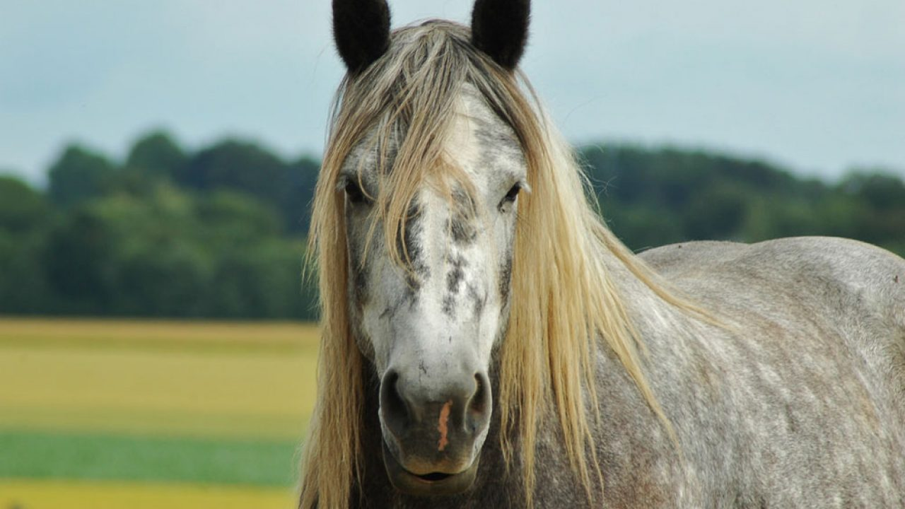 10 Fun Facts About Gray Horses Horse Illustrated