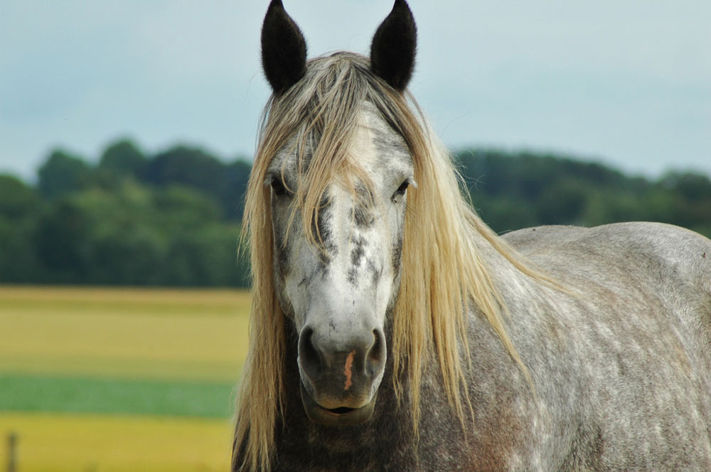Gray Draft Horse