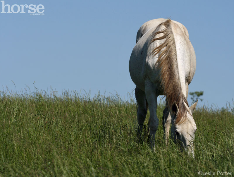Grazing gray horse